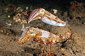 Broadclub cuttlefish pair