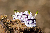 Goemetric Goniobranchus Nudibranch