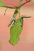Large rose sawfly larvae