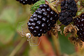Harvestmewn on a blackberry
