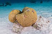 Symmetrical Brain Coral