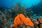 Orange Elephant Ear Sponge