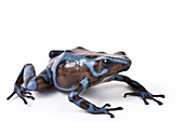 Panamanian Green and Black poison dart frog