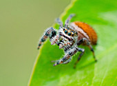 Brilliant Jumping Spider