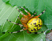 Marbled Spider