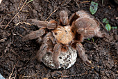 Tarantula with Egg Sac