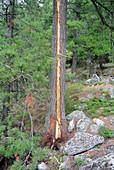 Lightning Strike on Tree