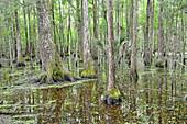 Bald Cypress Swamp