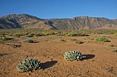 Flowering shrub in Richtersveldt desert