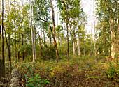 Dry Deciduous Forest, Cambodia
