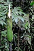 Amorphophallus Flower sequence