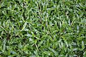 Blanket grass