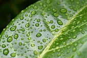 Water drops on laurel leaf