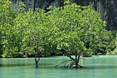 Mangrove Trees, Thailand