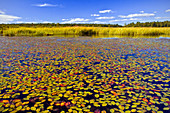 Watershield (Brasenia schreberi)
