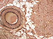 Neurovascular bundle, LM
