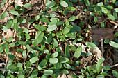 Cleavers seedlings