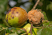 Brown rot on apples