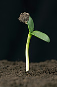 Sunflower seed germinating, 5 of 6