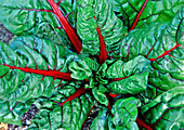 Swiss Chard, 'Ruby'