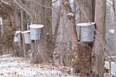 Tapped Sugar Maple trees for sap collection