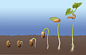 Bean Seed Germination, Illustration