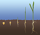 Corn Seed Germination, Illustration