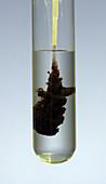 Lead sulphide, Precipitation Reaction