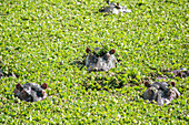 Hippos Swimming in a Sea of Green, Kenya