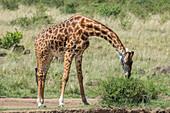 Giraffe Grazing, Maasai Mara, Kenya
