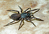 Queensland Funnel-web Spider