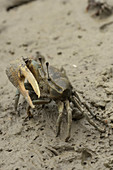 Malaysian Fiddler Crab
