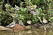 Northern Parula & Tennessee Warblers