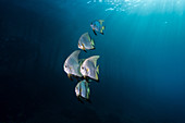 Longfin Batfish, Indonesia