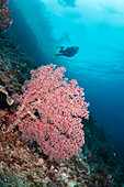Soft Coral, Indonesia