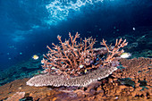 Acropora Corals, Indonesia