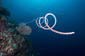 Wire Coral, Indonesia