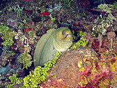 Green Moray Eel (Gymnothorax funebris)
