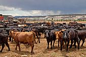Cattle Stockyard, Utah