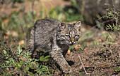 Bobcat Kitten in Autumn