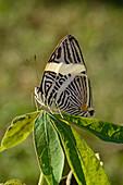 Amazon striped butterfly
