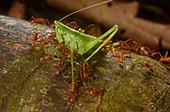 Army ants attacking katydid