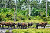 Curious Forest Buffalo, Odzala, Congo
