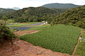 Vegetable farm in Malaysia