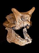 Brontops skull