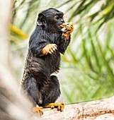 Red-handed tamarin eating fruit