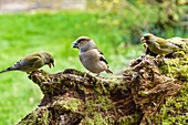 Hawfinch and greenfinches