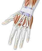 Muscles of the hand, posterior view, illustration