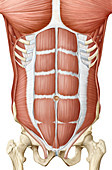 Trunk muscle, anterior view, illustration