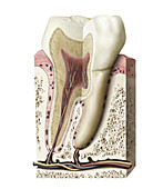 Section of a molar, illustration